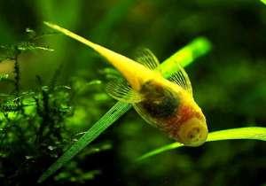 梅杜莎:胡子类异型观赏鱼